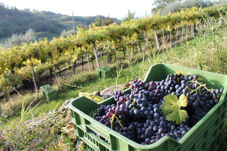 Amarone uva vendemmia (foto Consorzio Valpolicella)